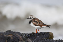 Turnstone, Arenaria interpres Stock Image