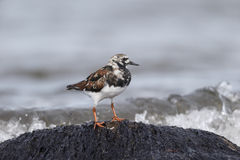 Turnstone, Arenaria interpres Royalty Free Stock Photo