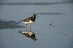 Turnstone, Arenaria interpres Stock Photos