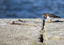 Turnstone (Arenaria interpres) Royalty Free Stock Photo