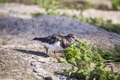 Turnstone (Arenaria interpres) Stock Image