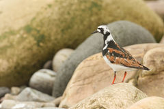 A Turnstone Arenaria interpres in summer plumage perched on a rock in Orkney, Scotland. A pretty Turnstone Arenaria interpres in summer plumage perched on a Royalty Free Stock Photos