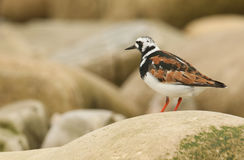 A Turnstone Arenaria interpres in summer plumage perched on a rock in Orkney, Scotland. A stunning Turnstone Arenaria interpres in summer plumage perched on a Stock Image