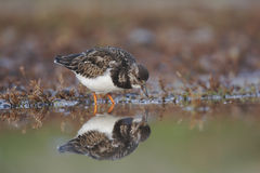 Turnstone, Arenaria interpres Royalty Free Stock Image
