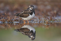 Turnstone, Arenaria interpres Royalty Free Stock Photos