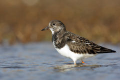 Turnstone, Arenaria interpres Stock Photography
