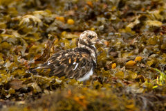Turnstone (Arenaria interpres) Stock Photos