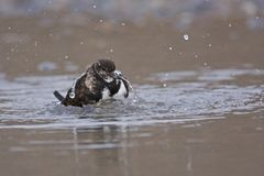 Turnstone Royalty Free Stock Photography