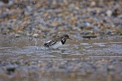 Turnstone Stock Photo