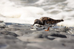Turnstone bird. Cliff sea water Royalty Free Stock Photography
