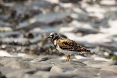 Turnstone bird. Cliff sea water Stock Photo