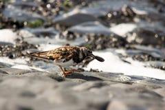 Turnstone bird. Cliff sea water Stock Image