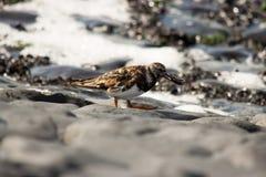 Turnstone bird. Cliff sea water Stock Photos