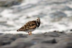 Turnstone bird. Cliff sea water Stock Photography