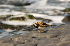 Turnstone bird. Cliff sea water Royalty Free Stock Photos