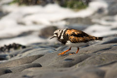 Turnstone bird Royalty Free Stock Photography