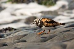 Turnstone bird Royalty Free Stock Photography