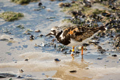 Turnstone bird Royalty Free Stock Photos