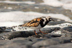 Turnstone bird Stock Photos
