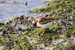 Turnstone bird Royalty Free Stock Photo