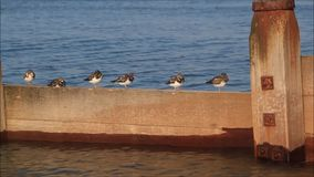 Turnstone birds on breakwater. Video footage of kentish turnstone birds resting on breakwater at whitstable.videoed sept 2016 ideal for wildlife,coastal birds stock video