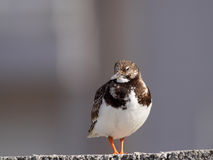 Turnstone Stock Images