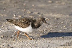 turnstone interpres arenaria ruddy Стоковая Фотография RF
