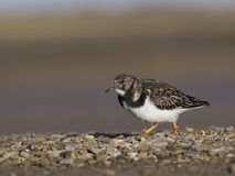 Turnstone, interpres dell'arenaria Immagini Stock