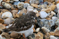 Turnstone (juveniles) (Arenaria interpres). A single juvenile turnstone on a shingly/pebbly beach in West Sussex, England in early April Stock Image