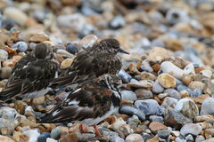 Turnstone (juveniles) (Arenaria interpres). Three juvenile turnstones on a shingle/pebbly beach in west Sussex, England. This picture was taken in early April Stock Photo