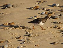 Turnstone op het strand stock foto's