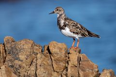 Turnstone plover Royalty Free Stock Images