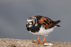 Turnstone portrait Royalty Free Stock Photo