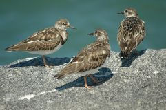 Turnstone Ruddy Fotografia de Stock Royalty Free