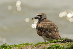 Turnstone Ruddy Immagine Stock