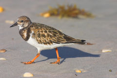 Turnstone Ruddy (interpres do arenário) Imagem de Stock