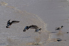 Turnstone Ruddy Royalty Free Stock Image