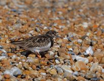 Turnstone,searching for food. royalty free stock photo