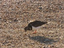 Turnstone at Southwold royalty free stock photography