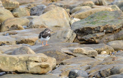 Turnstone. Spotted on the rocks at the coast of Audinghen stock image