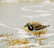 Turnstone vermeil Photographie stock
