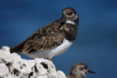 Turnstone vermeil Photo stock