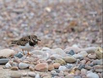 Turnstone vermeil dans non le plumage d'élevage Plage de Sidmouth, Devon, Images libres de droits