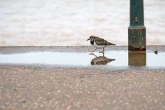 Turnstone vermeil dans non le plumage d'élevage Plage de Sidmouth, Devon, Photos libres de droits