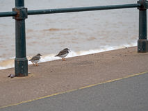Turnstone vermeil dans non le plumage d'élevage Plage de Sidmouth, Devon, Photographie stock libre de droits