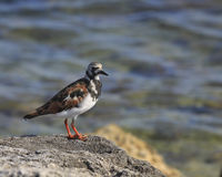 Turnstone vermeil (interpres d'arénaire) Photo stock