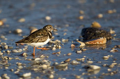 Turnstone vermeil (interpres d'arénaire) Photo libre de droits