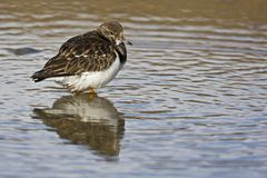 Turnstone Royalty Free Stock Photos