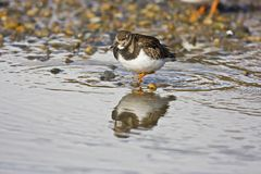 Turnstone Royalty Free Stock Images