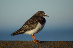 Turnstone winter plumage close up. This tiny english seaside bird is in winter plumage, it patrols the sea shore looking for insects and invertebrates on the Stock Photo